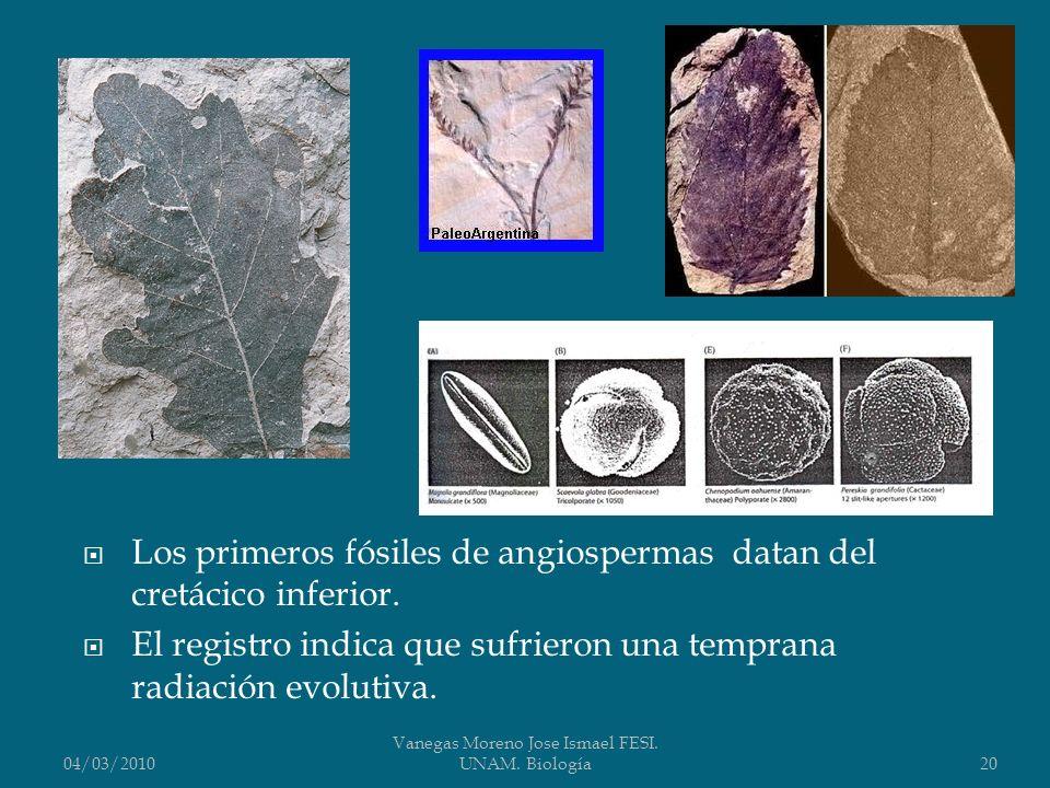 Los primeros fósiles de angiospermas datan del cretácico inferior. El registro indica que sufrieron una temprana radiación evolutiva. 04/03/2010 Vaneg