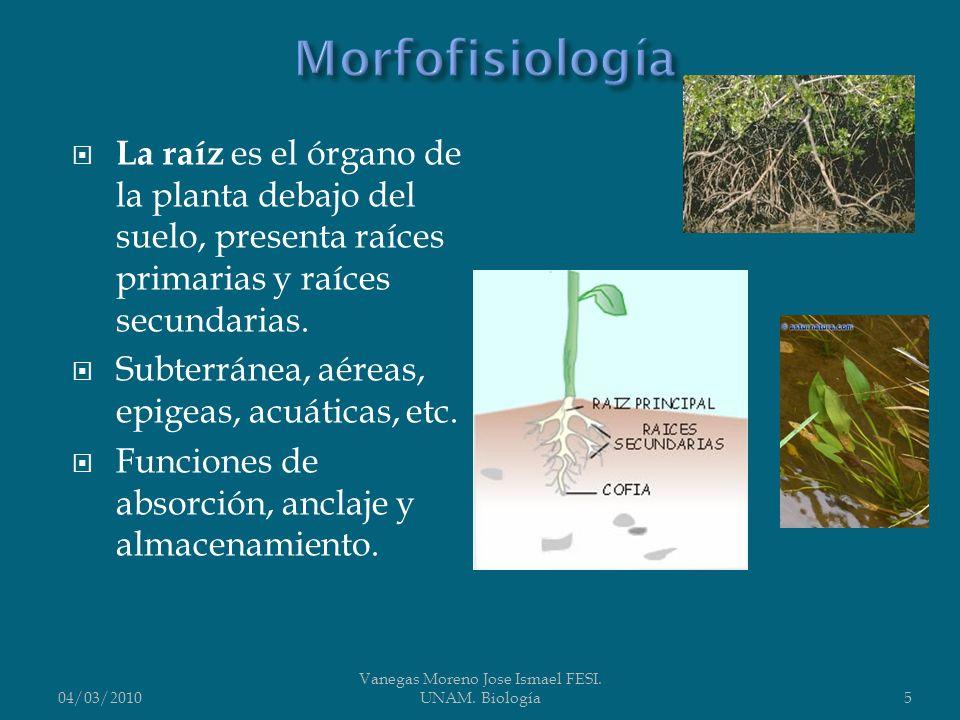 La raíz es el órgano de la planta debajo del suelo, presenta raíces primarias y raíces secundarias. Subterránea, aéreas, epigeas, acuáticas, etc. Func