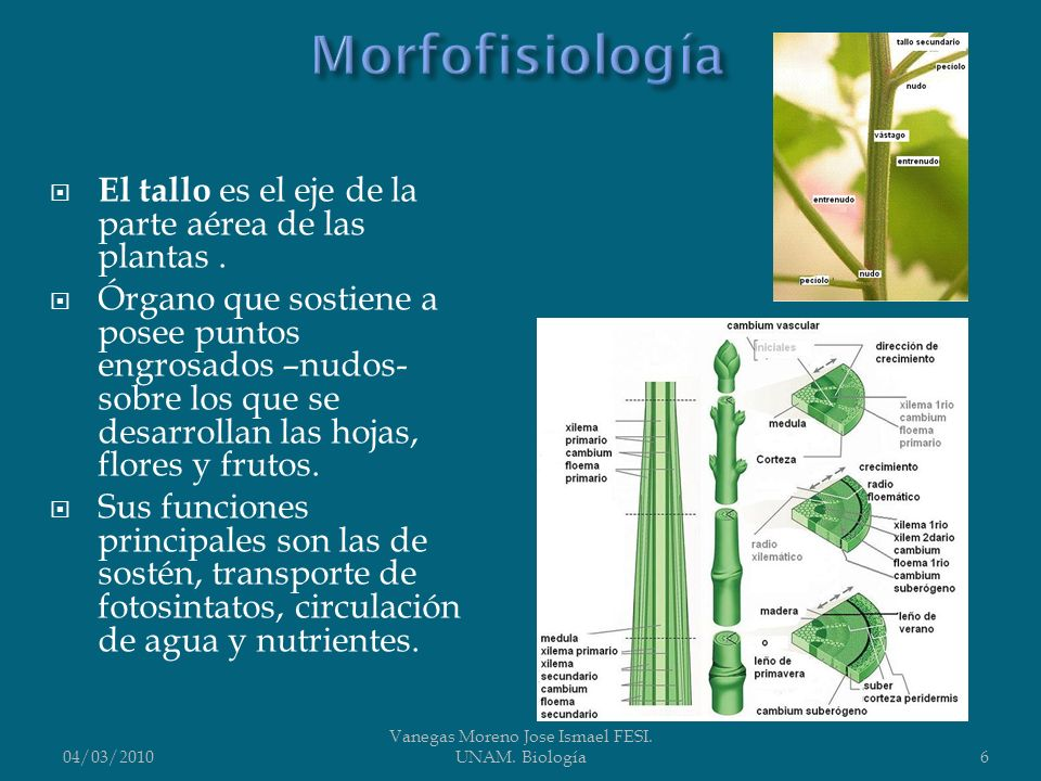 El tallo es el eje de la parte aérea de las plantas. Órgano que sostiene a posee puntos engrosados –nudos- sobre los que se desarrollan las hojas, flo