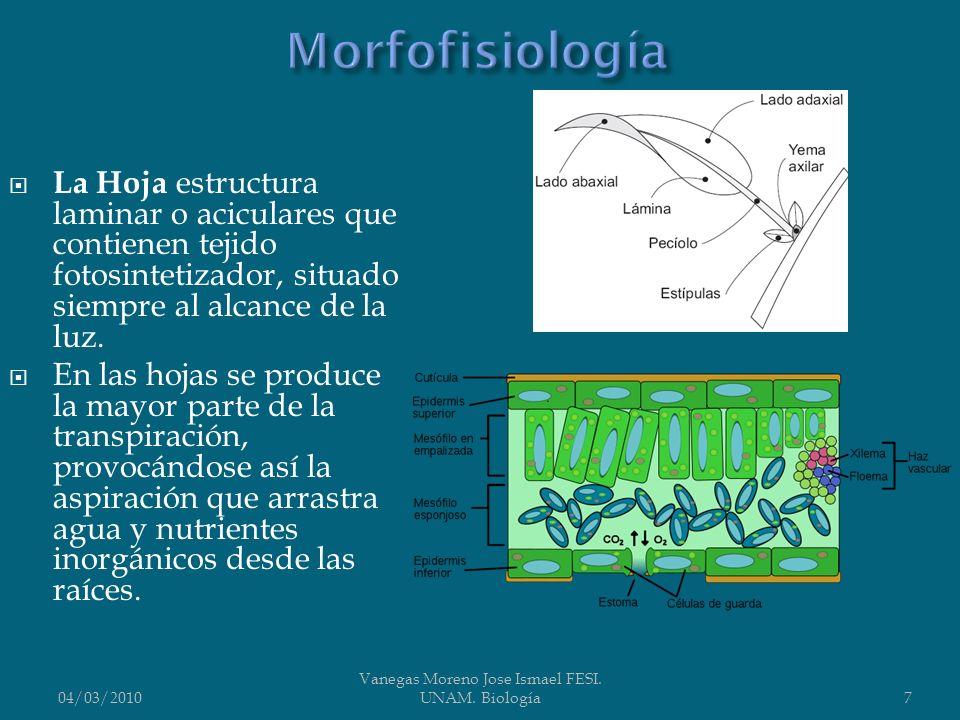 La Hoja estructura laminar o aciculares que contienen tejido fotosintetizador, situado siempre al alcance de la luz. En las hojas se produce la mayor