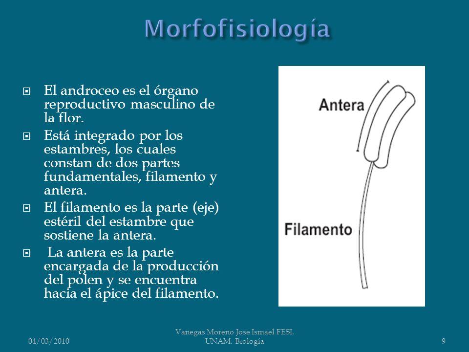 El androceo es el órgano reproductivo masculino de la flor. Está integrado por los estambres, los cuales constan de dos partes fundamentales, filament