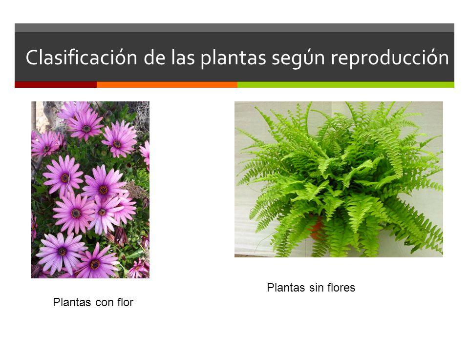 Clasificación de las plantas según reproducción Plantas con flor Plantas sin flores