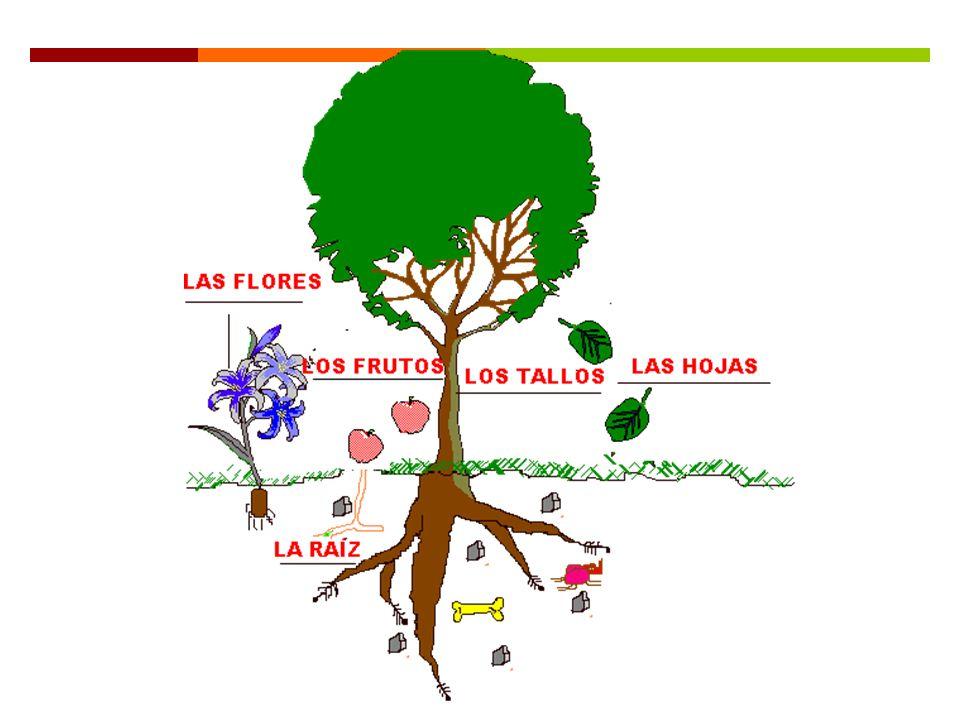 Partes de la planta: La raíz La raíz es una parte muy importante de la planta que tiene dos funciones principales: 1.