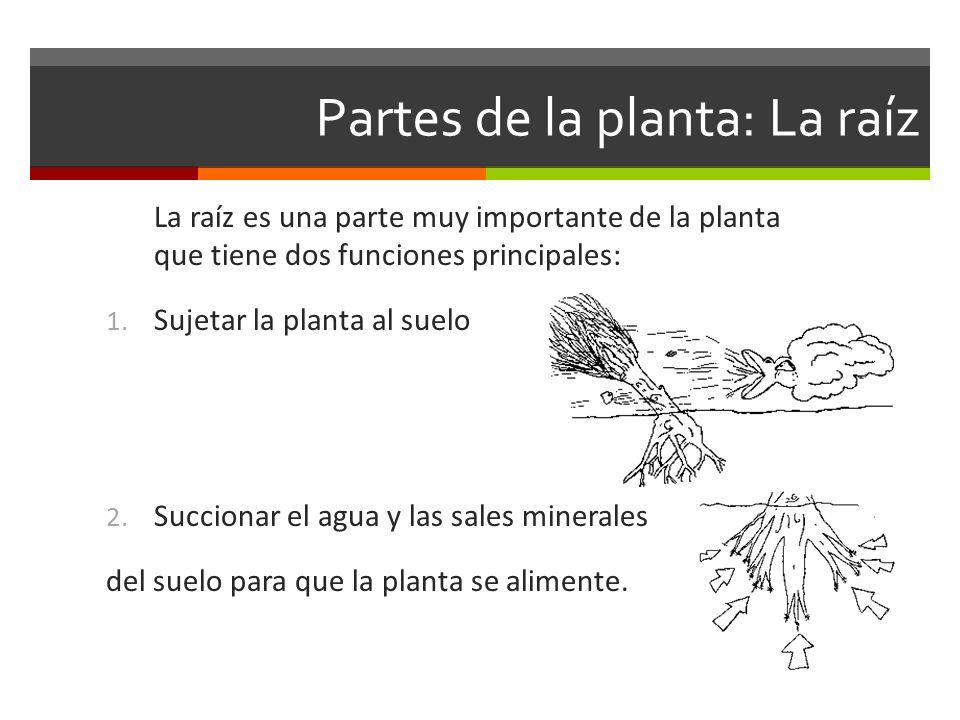 Partes de la planta: La raíz La raíz es una parte muy importante de la planta que tiene dos funciones principales: 1. Sujetar la planta al suelo 2. Su