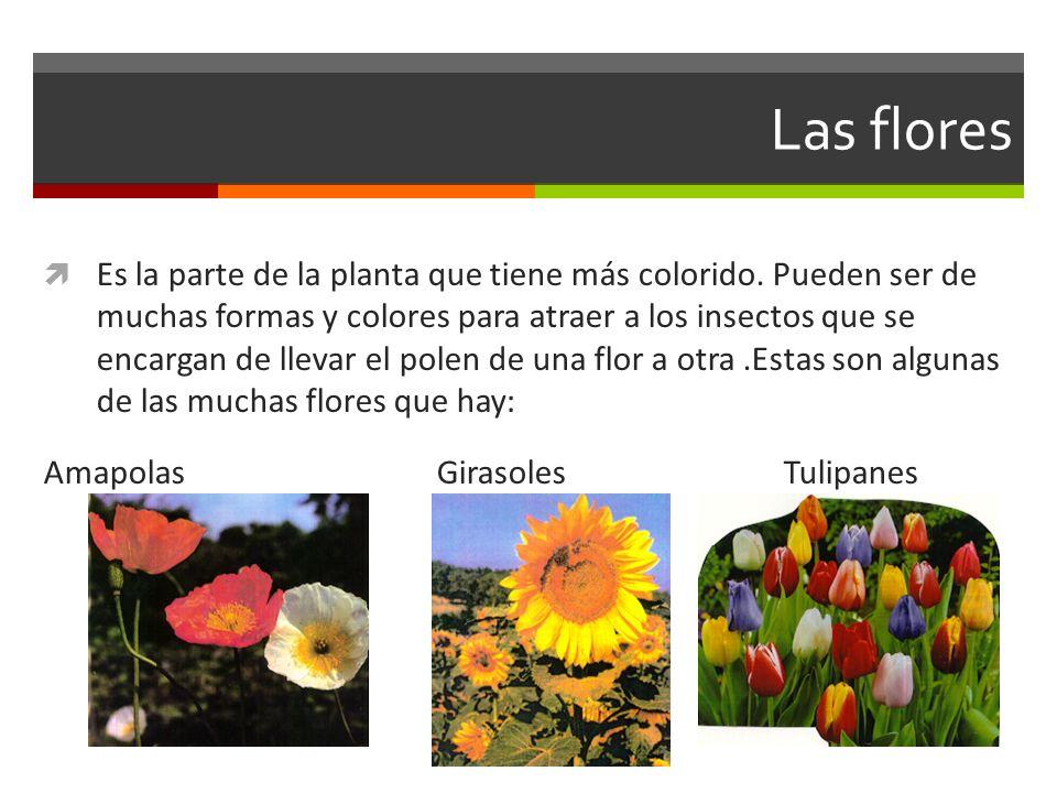 Las flores Es la parte de la planta que tiene más colorido. Pueden ser de muchas formas y colores para atraer a los insectos que se encargan de llevar