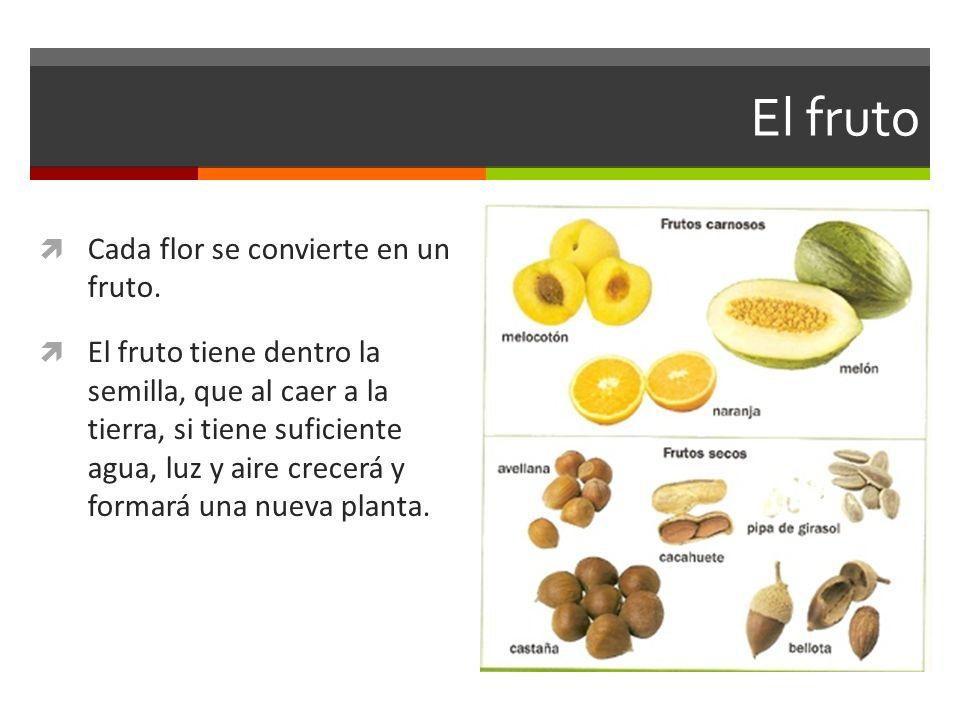 El fruto Cada flor se convierte en un fruto. El fruto tiene dentro la semilla, que al caer a la tierra, si tiene suficiente agua, luz y aire crecerá y
