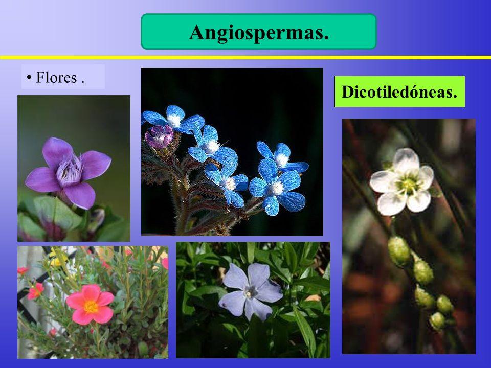 Flores. Angiospermas. Dicotiledóneas.