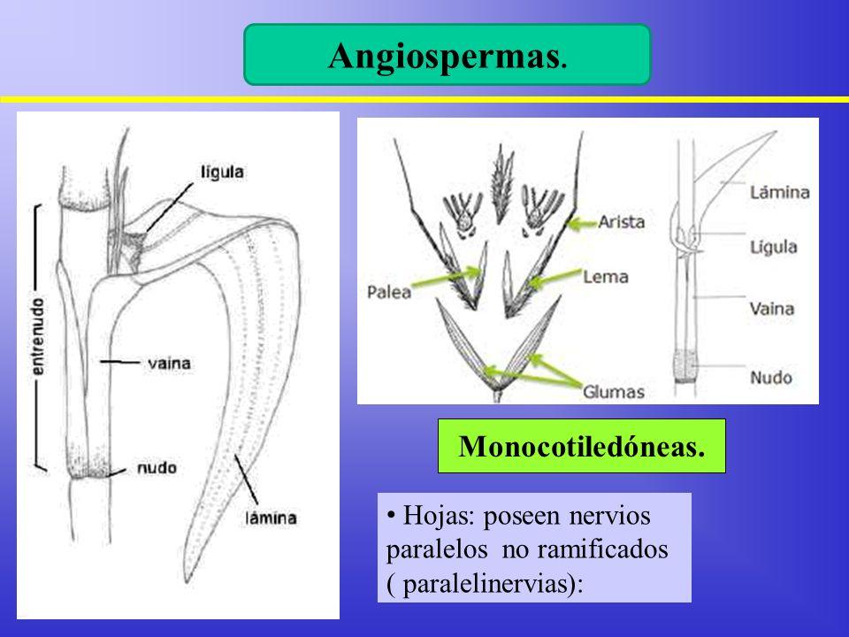 Hojas: poseen nervios paralelos no ramificados ( paralelinervias): Monocotiledóneas. Angiospermas.