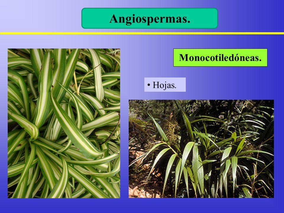 Hojas. Monocotiledóneas. Angiospermas.