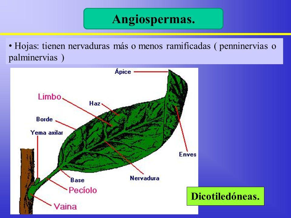 Hojas: tienen nervaduras más o menos ramificadas ( penninervias o palminervias ) Angiospermas. Dicotiledóneas.