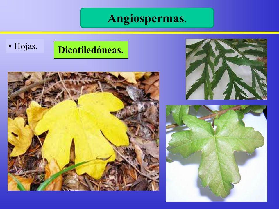 Hojas. Angiospermas. Dicotiledóneas.