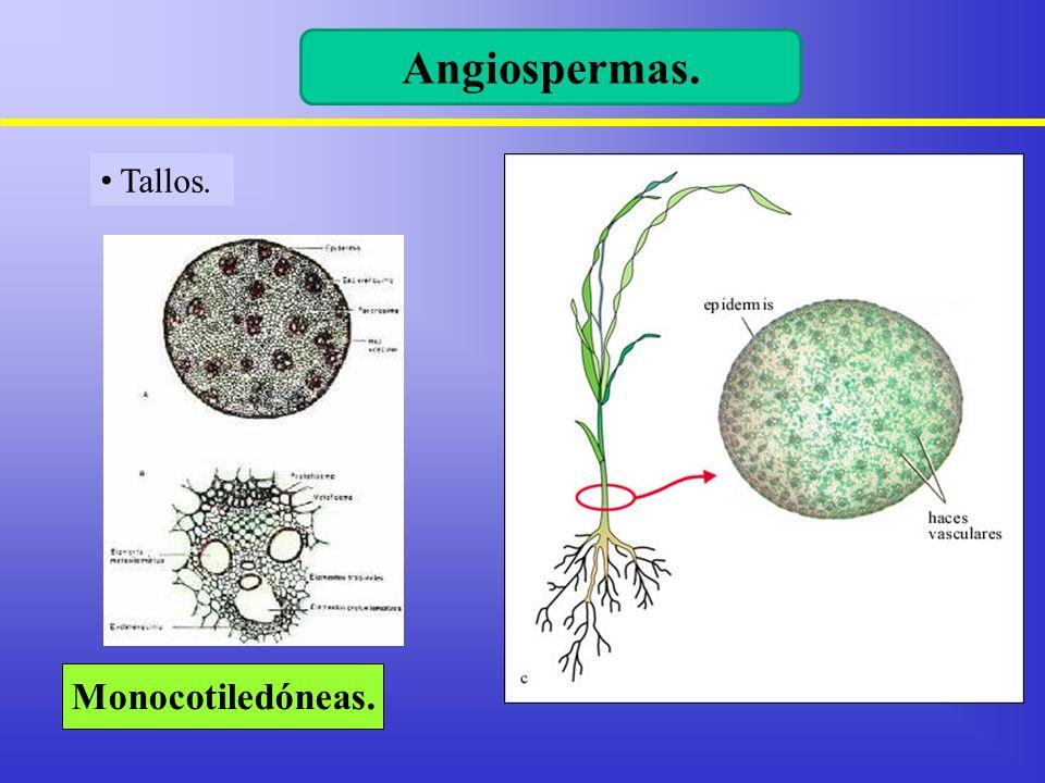 Tallos. Angiospermas. Monocotiledóneas.