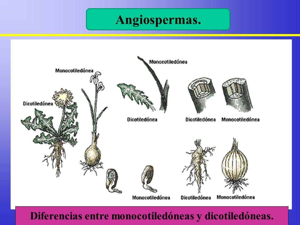 Angiospermas. Diferencias entre monocotiledóneas y dicotiledóneas.