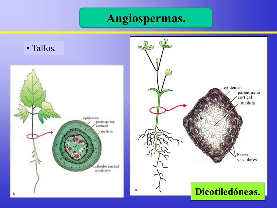 Angiospermas. Tallos. Dicotiledóneas.