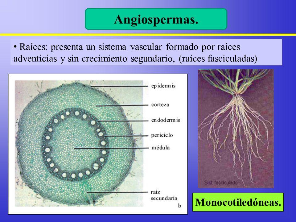Raíces: presenta un sistema vascular formado por raíces adventicias y sin crecimiento segundario, (raíces fasciculadas) Monocotiledóneas. Angiospermas