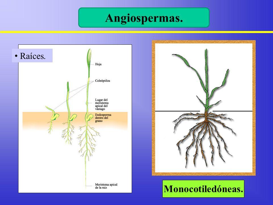 Monocotiledóneas. Angiospermas. Raíces.