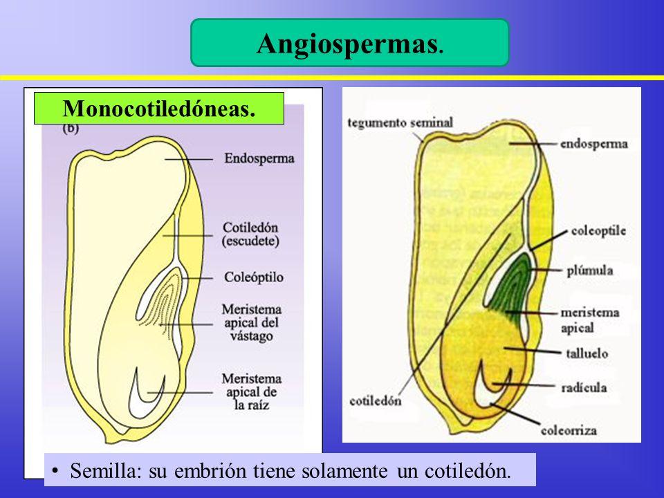 Angiospermas. Semilla: su embrión tiene solamente un cotiledón. Monocotiledóneas.