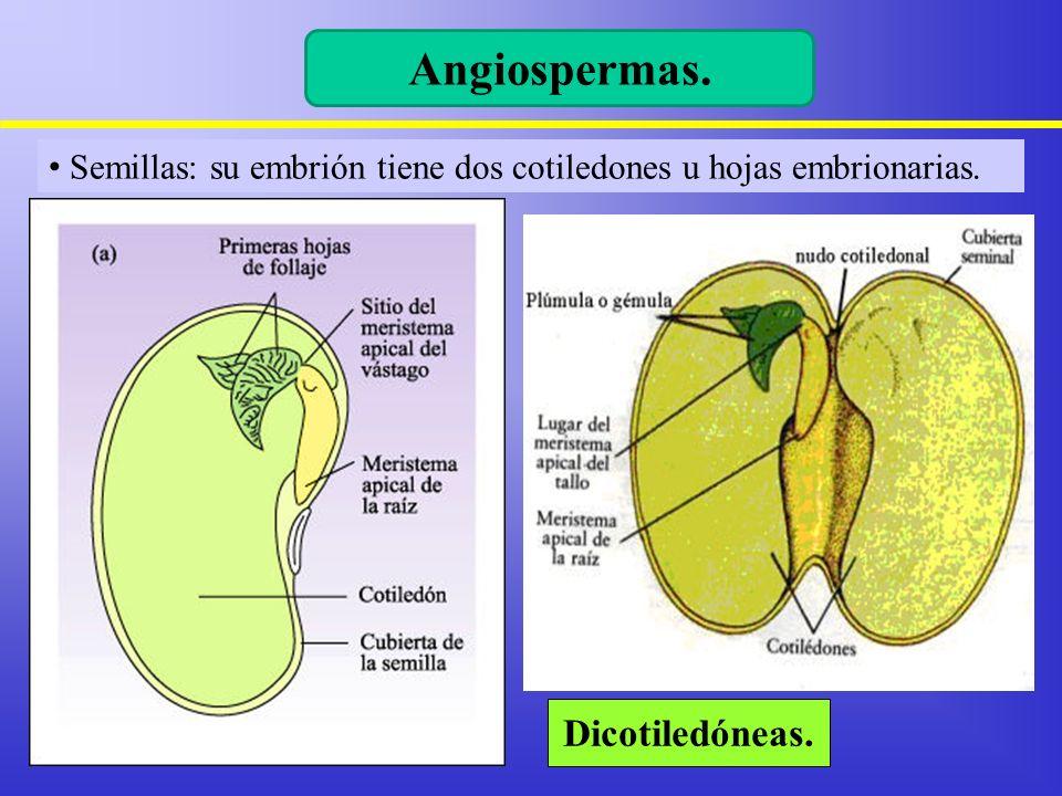 Semillas: su embrión tiene dos cotiledones u hojas embrionarias. Dicotiledóneas. Angiospermas.