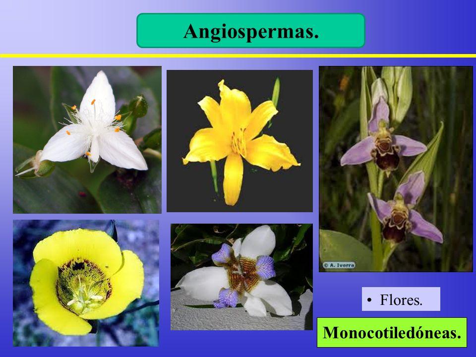 Angiospermas. Monocotiledóneas. Flores.