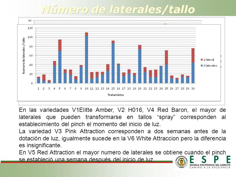 Número de laterales/tallo En las variedades V1Elitte Amber, V2 H016, V4 Red Baron, el mayor de laterales que pueden transformarse en tallos spray corresponden al establecimiento del pinch el momento del inicio de luz.