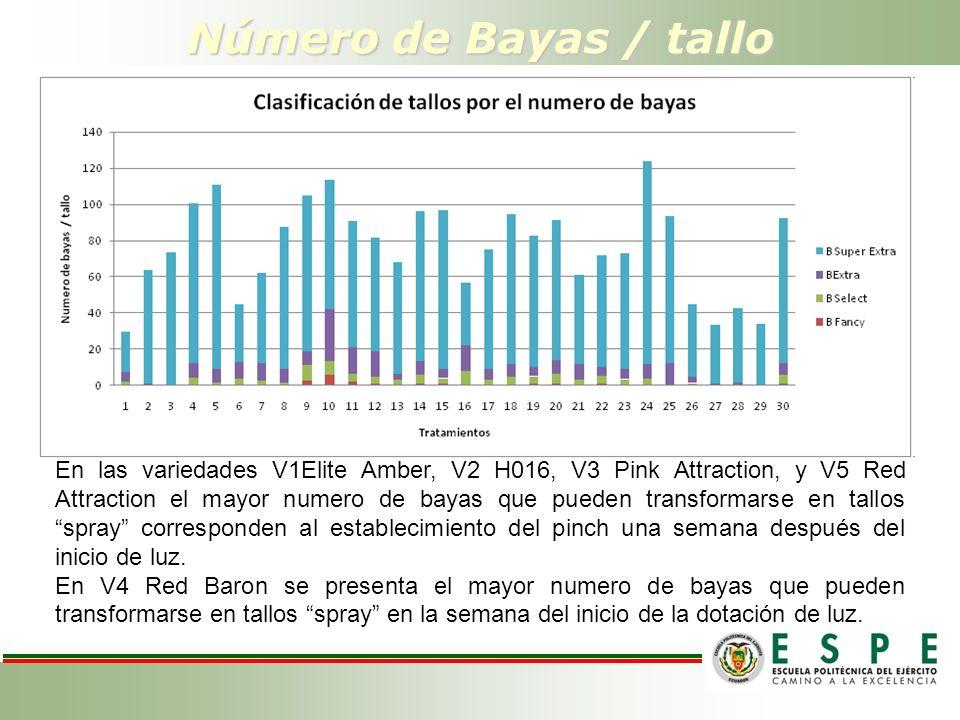 Número de Bayas / tallo En las variedades V1Elite Amber, V2 H016, V3 Pink Attraction, y V5 Red Attraction el mayor numero de bayas que pueden transfor