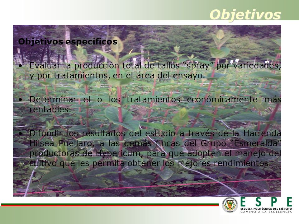 Objetivos Objetivos específicos Evaluar la producción total de tallos spray por variedades, y por tratamientos, en el área del ensayo. Determinar el o