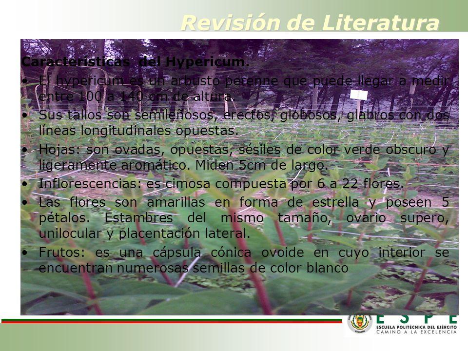 Revisión de Literatura Características del Hypericum. El hypericum es un arbusto perenne que puede llegar a medir entre 100 a 140 cm de altura. Sus ta