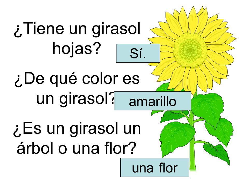 ¿Tiene un girasol hojas? ¿De qué color es un girasol? ¿Es un girasol un árbol o una flor? Sí. amarillo una flor