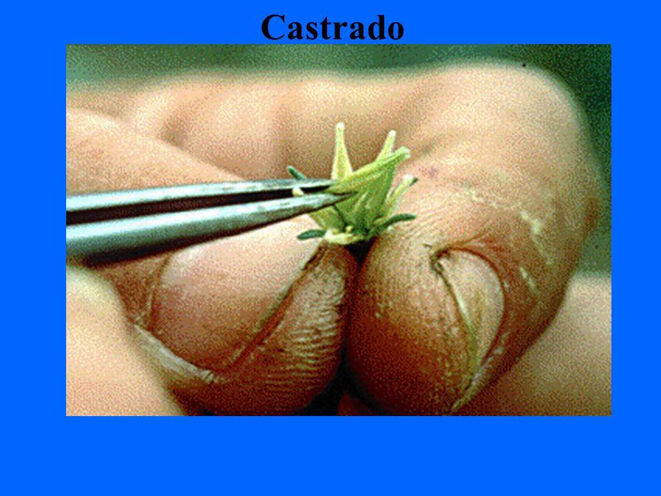 Castrado