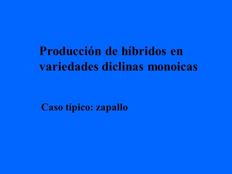 Producción de híbridos en variedades diclinas monoicas Caso típico: zapallo