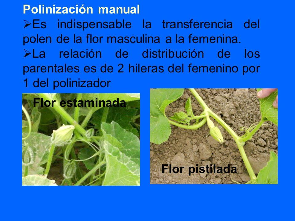 Polinización manual Es indispensable la transferencia del polen de la flor masculina a la femenina. La relación de distribución de los parentales es d