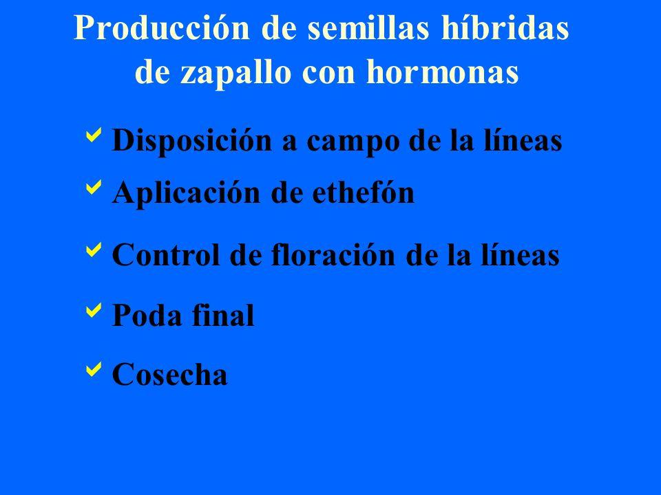 Producción de semillas híbridas de zapallo con hormonas Disposición a campo de la líneas Aplicación de ethefón Control de floración de la líneas Poda
