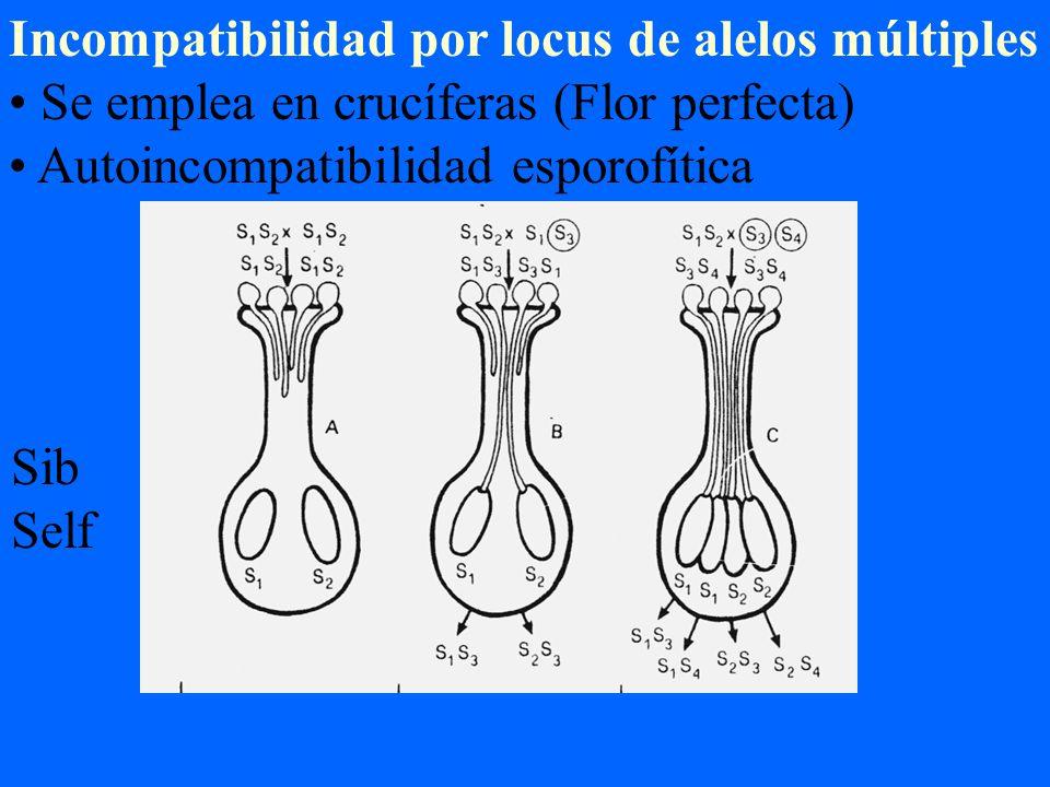 Incompatibilidad por locus de alelos múltiples Se emplea en crucíferas (Flor perfecta) Autoincompatibilidad esporofítica Sib Self