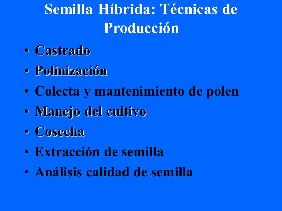 Semilla Híbrida: Técnicas de Producción CastradoCastrado PolinizaciónPolinización Colecta y mantenimiento de polen Manejo del cultivoManejo del cultiv