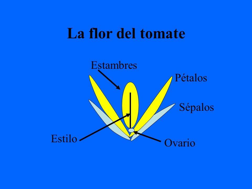 La flor del tomate Sépalos Pétalos Ovario Estambres Estilo