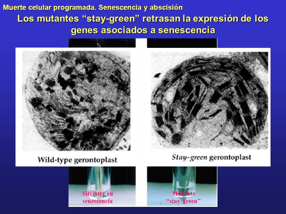 Muerte celular programada. Senescencia y abscisión Los mutantes stay-green retrasan la expresión de los genes asociados a senescencia Silvestre en sen