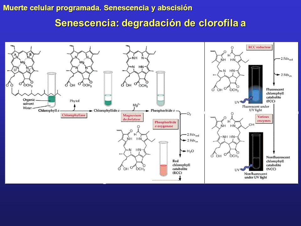 Muerte celular programada. Senescencia y abscisión Senescencia: degradación de clorofila a