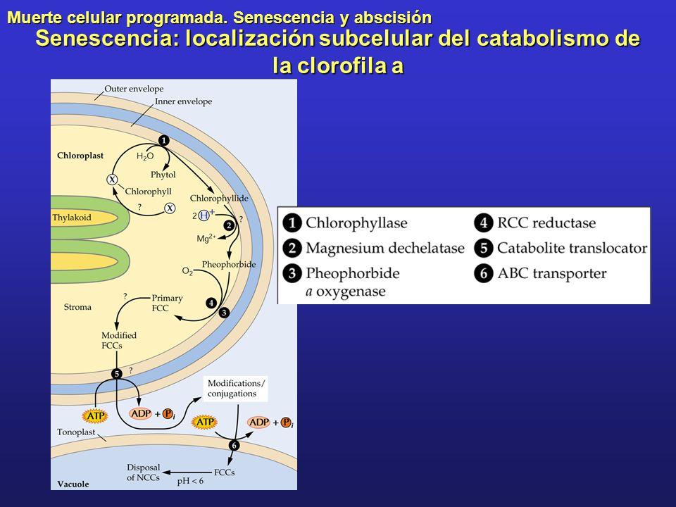 Muerte celular programada. Senescencia y abscisión Senescencia: localización subcelular del catabolismo de la clorofila a