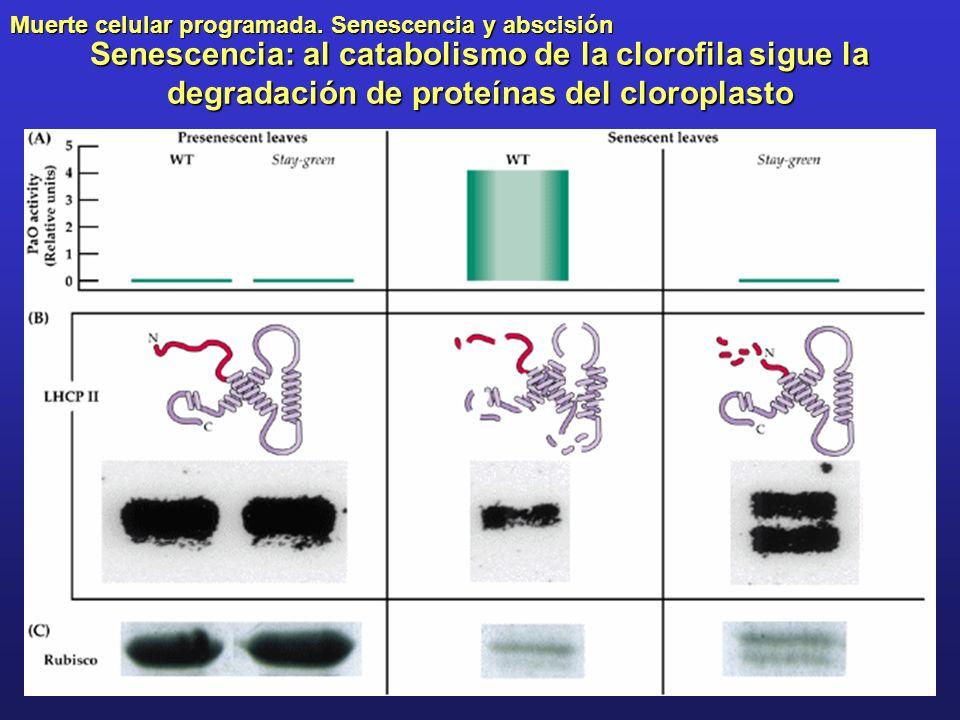 Muerte celular programada. Senescencia y abscisión Senescencia: al catabolismo de la clorofila sigue la degradación de proteínas del cloroplasto