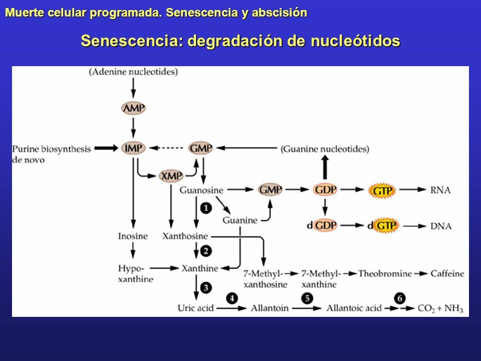 Muerte celular programada. Senescencia y abscisión Senescencia: degradación de nucleótidos