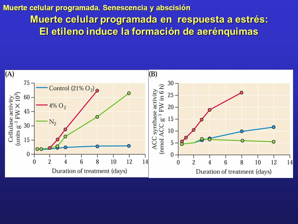 Muerte celular programada. Senescencia y abscisión Muerte celular programada en respuesta a estrés: El etileno induce la formación de aerénquimas