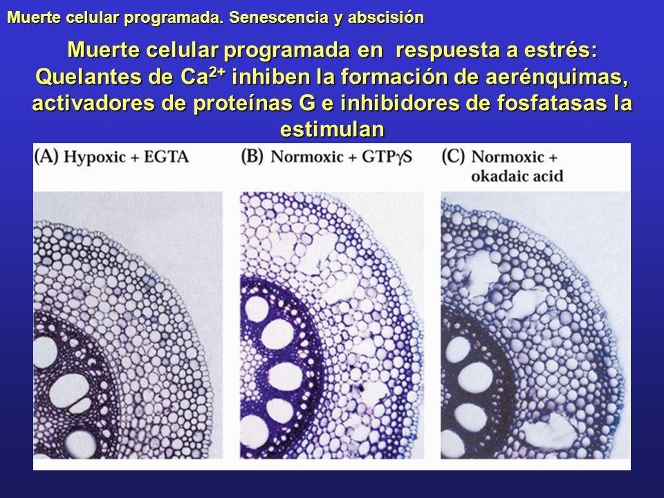 Muerte celular programada. Senescencia y abscisión Muerte celular programada en respuesta a estrés: Quelantes de Ca 2+ inhiben la formación de aerénqu