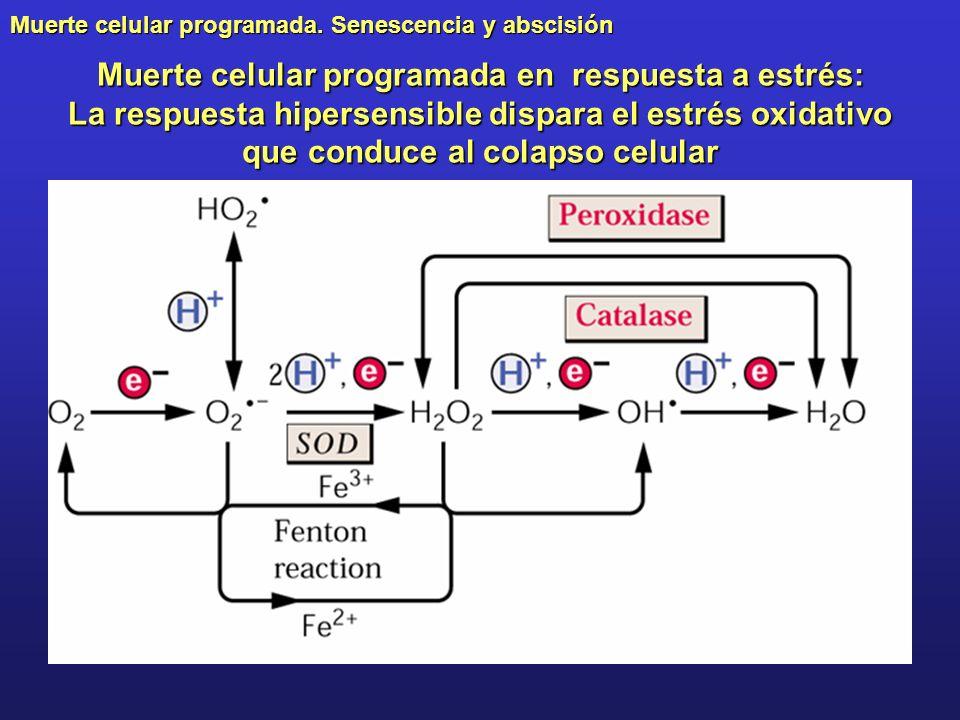 Muerte celular programada. Senescencia y abscisión Muerte celular programada en respuesta a estrés: La respuesta hipersensible dispara el estrés oxida