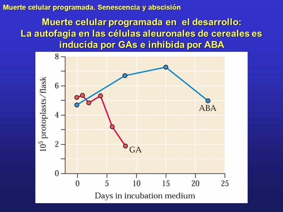 Muerte celular programada. Senescencia y abscisión Muerte celular programada en el desarrollo: La autofagia en las células aleuronales de cereales es