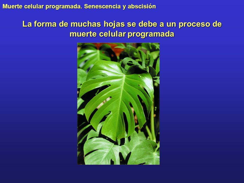 Muerte celular programada. Senescencia y abscisión La forma de muchas hojas se debe a un proceso de muerte celular programada