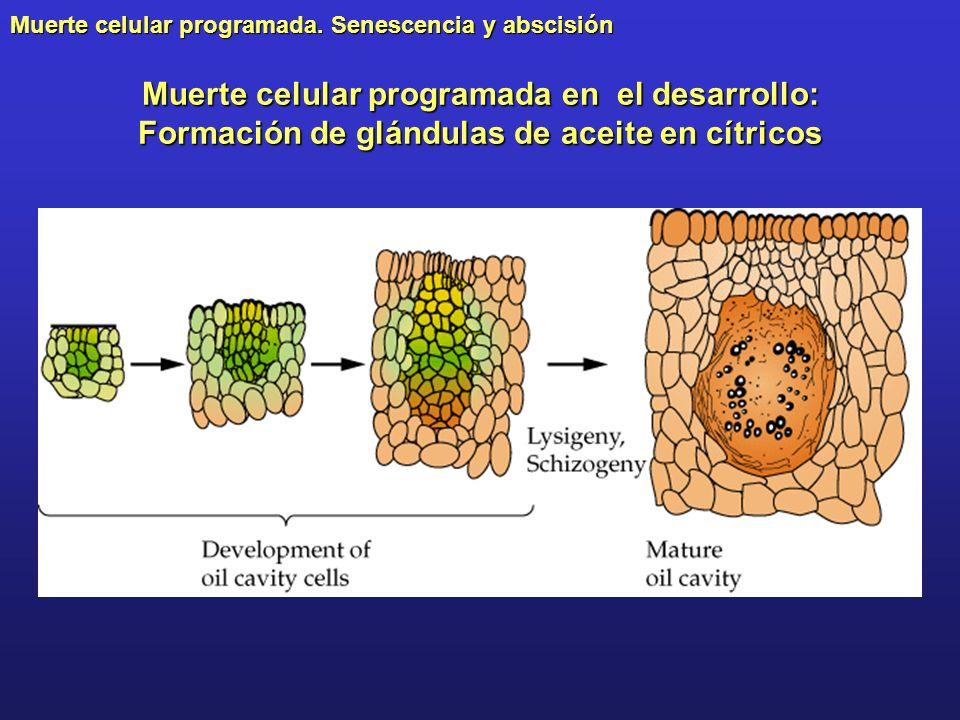 Muerte celular programada. Senescencia y abscisión Muerte celular programada en el desarrollo: Formación de glándulas de aceite en cítricos