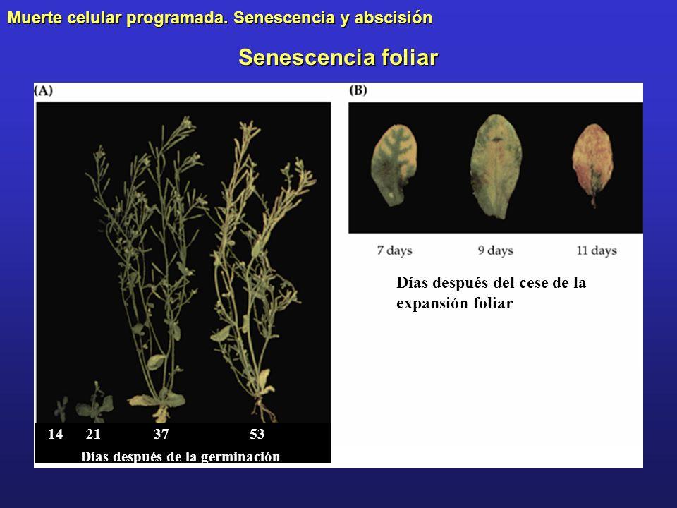 Senescencia foliar Días después de la germinación 14213753 Días después del cese de la expansión foliar