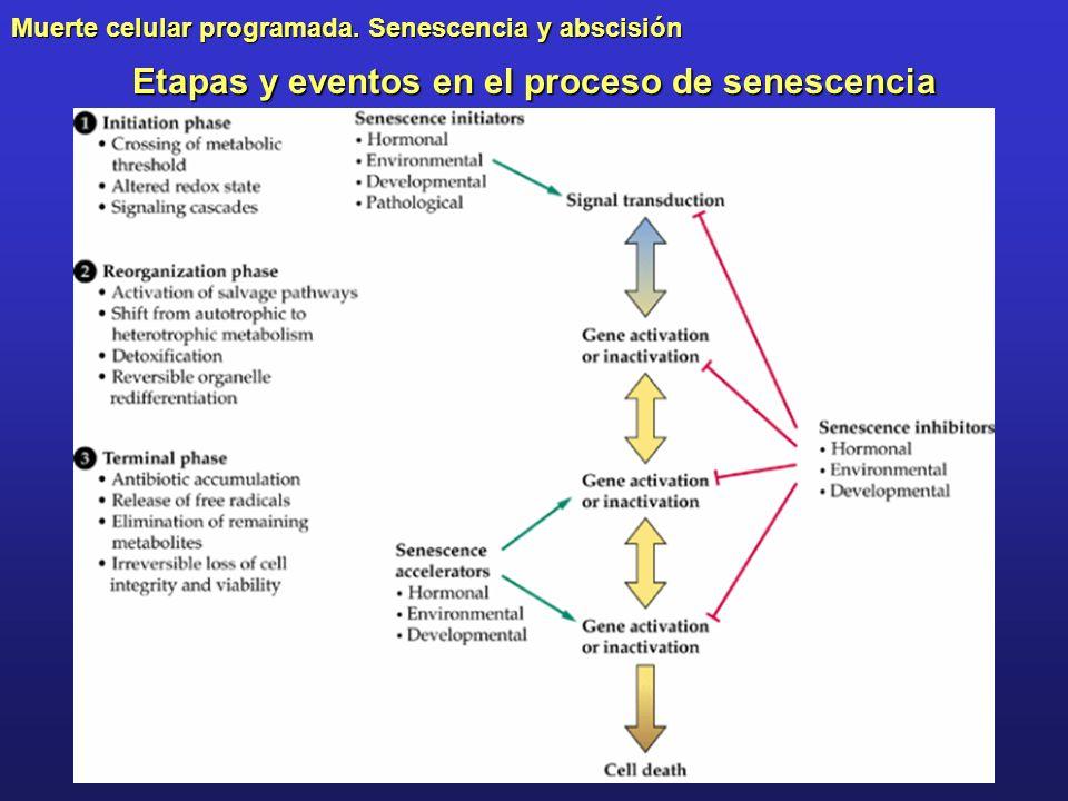 Muerte celular programada. Senescencia y abscisión Etapas y eventos en el proceso de senescencia