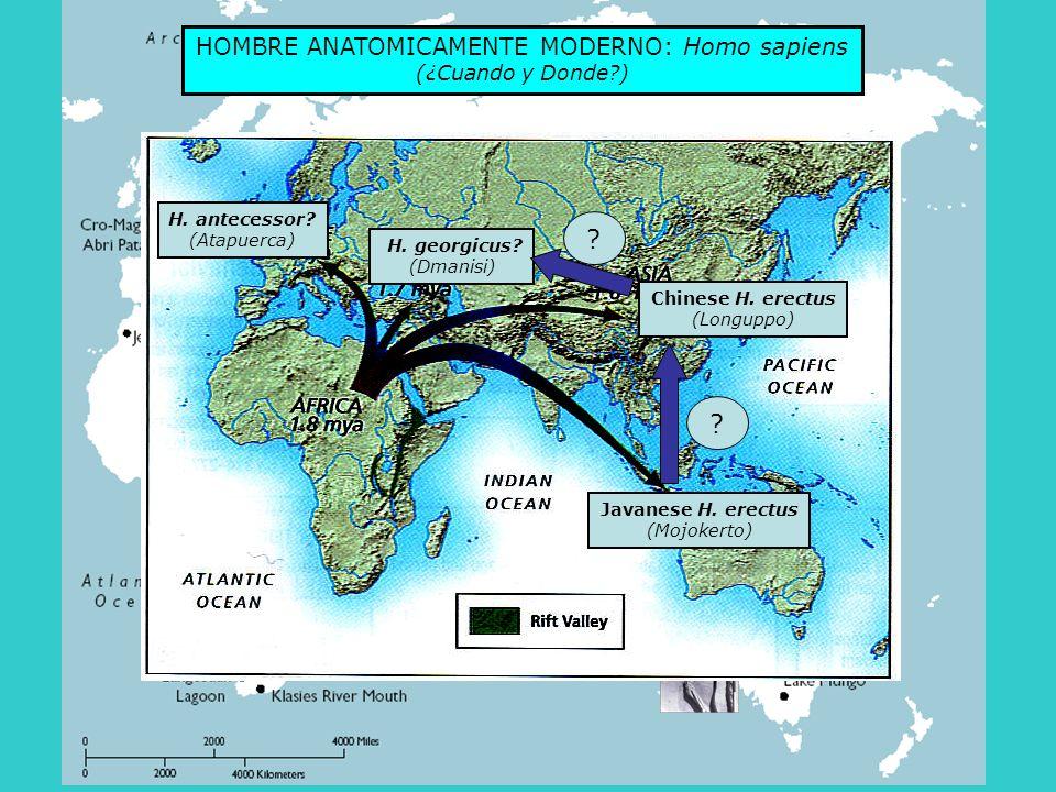 Repasemos…… Pasado (2,000,000 a) Tiempo Presente Europa Africa Asia Arcaicos Humanos modernos Pasado (2,000,000 a) Tiempo Presente Extinct Europa Africa Asia Arcaicos Humanos modernos FUERA DE AFRICA MULTIREGIONAL Reemplazo Flujo genico