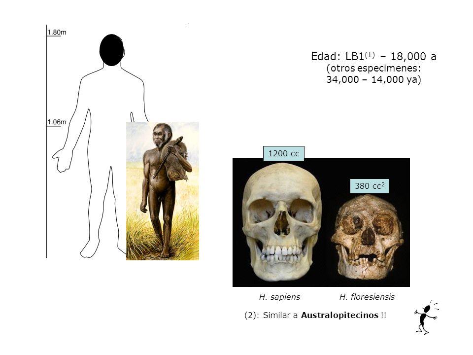 Edad: LB1 (1) – 18,000 a (otros especimenes: 34,000 – 14,000 ya) H. sapiens H. floresiensis 380 cc 2 1200 cc (2): Similar a Australopitecinos !!